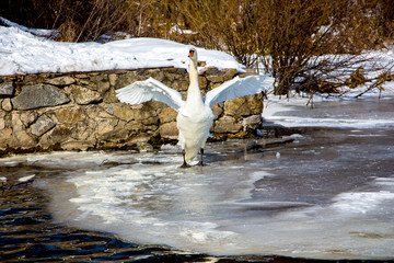 White swan on the ice of the river on a winter day. Swan lifting up the wings. Overwinter birds_