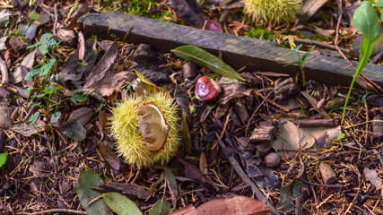 Open Chestnut on the Ground, Horse Chestnut Aesculus hippocastanum, Shallow Depth of Field Autumn Nature Photography