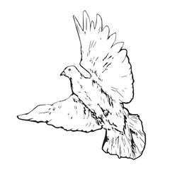 White pigeon (dove) flying, hand drawn doodle, sketch outline, vector illustration