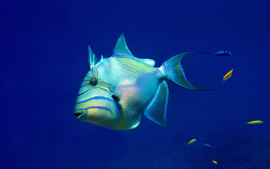 Juvenile Queen Triggerfish