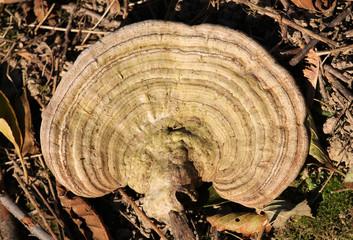 Ganoderma applanatum or artist's bracket fungus