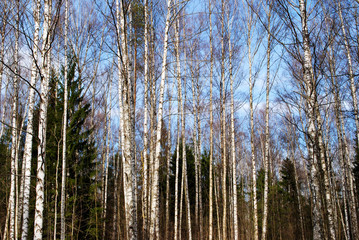 mixed forest in spring