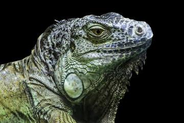Big iguana head on black background