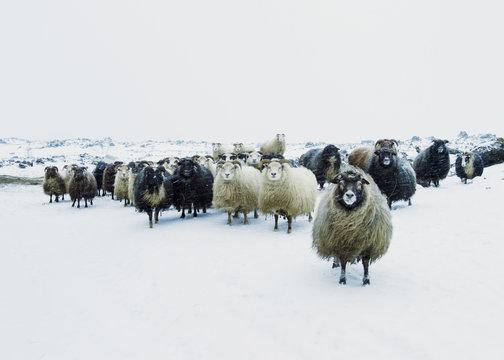 Sheep on snowy field against sky