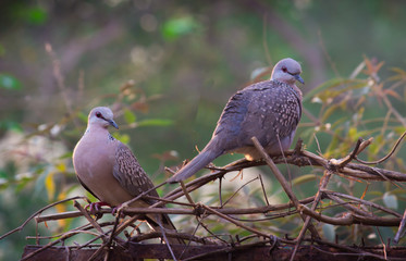 Dove Birds sitting on the tree, in its natural habitat with a soft blurry background.
