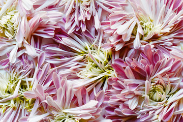 Close up of pink chrysanthemum petals