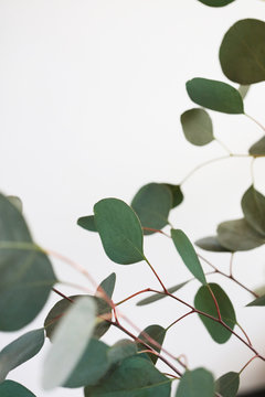 Fresh Eucalyptus Branches Against A White Background