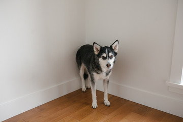 Sad looking dog standing in corner of the room