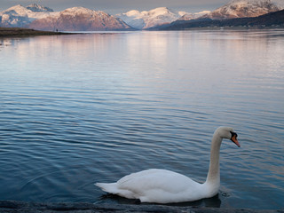 Swans swim into the view of Ardgour from the Ballachulish Bridge