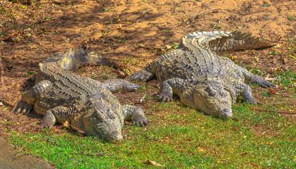 Two African Crocodiles, Crocodylus Niloticus, resting at iSimangaliso Wetland Park, St Lucia Estuary, South Africa, one of the top Safari Tour destinations. Nile Crocodile in Ezemvelo KZN Wildlife.