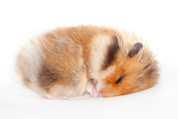 cute funny Syrian fluffy hamster lies and sleeps