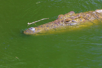 Closeup of African Crocodile face in the water in Ezemvelo KZN Wildlife. Nile Crocodile in St Lucia Estuary within iSimangaliso Wetland Park, South Africa, one of the top Safari Tour destinations.