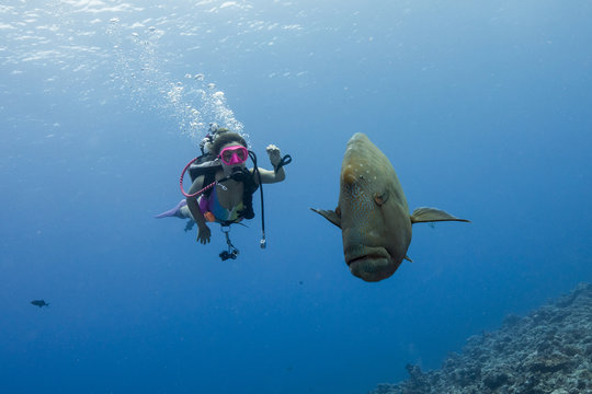 Adult male Napoleon Wrasse (Cheilinus undulatus) in the reef with young female diver