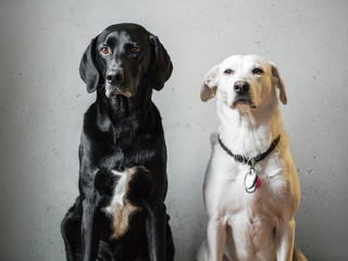 Classical portrait of a dog couple