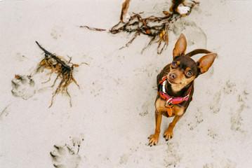 Tiny Miniature Pinscher dog on beach looking up at camera