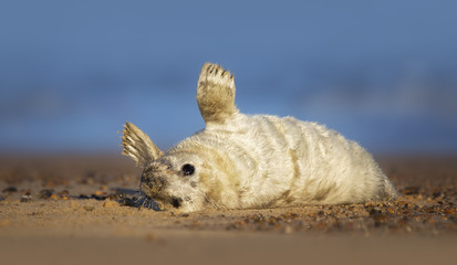 Wild grey seal pup (Halichoerus grypus) in UK