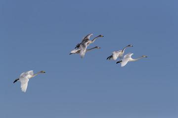 Whooper Swans flying