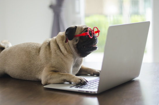 Adorable pug dog wearing red glasses lay on floor and working on laptop .