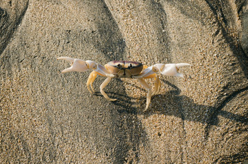 Land crab demonstrating his claws for protection