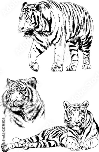 4882557e4 set of vector drawings on the theme of predators tigers are drawn by hand  with ink tattoo logos