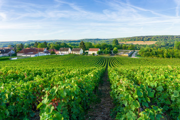 Row vine grape in champagne vineyards at montagne de reims countryside village background, France
