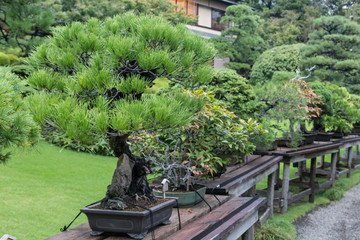 Japan traditional little trees bonsai in garden, among the big trees and lawn