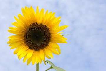 Sunflower with a blue sky background with few white clouds