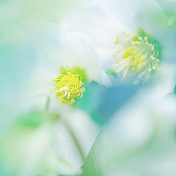 Pale colored lenten roses close up