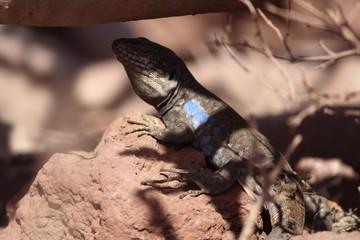 lizard at pois