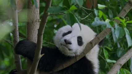Wall Mural - Cute and funny baby panda relaxing on a tree at a zoo in China. 4K, UHD.