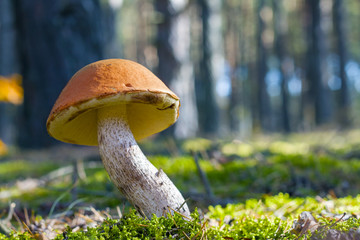 big leccinum grows in sunny wood