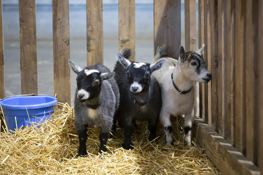 Eye level view of pygmy goats in a wooden pen with hay on ground