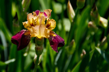 Beautiful iris flower on flowerbed in garden