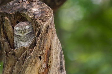 Spotted Owlet (Athene Brama) in tree hollow, Owl is very small living in a tree hollow with family is peaking through the wrecked branch. The Spotted Owlet has bright yellow eye