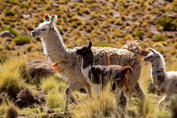 Travel to Bolivia - Llamas in the Altiplano Desert