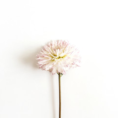 Keuken foto achterwand Dahlia One dahlia flower on white background. Flat lay, top view.