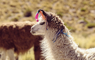 Travel to Bolivia - Llamas in the Altiplano Desert