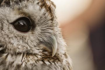 Owl close up. Beautiful wild bird. Brown plumage