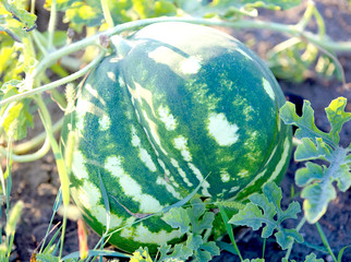 Green watermelon growing in the garden. Summer
