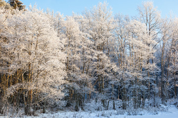 Forest with hoarfrost in winter light
