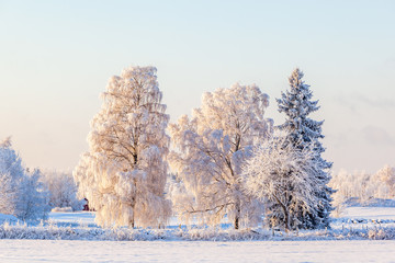 Birch and a spruce tree with hoarfrost on a field