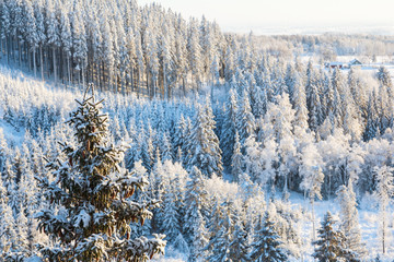 Spruce trees in winter the view of the forest