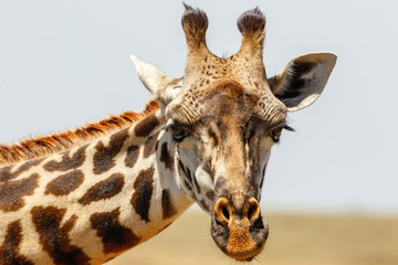 Close up of a giraffe portrait on the savannah