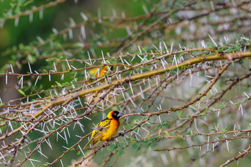 Prickly branches with a Village weaver on a branch