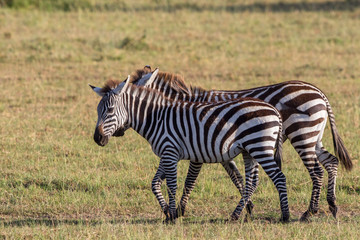 Zebras walking on the savannah in Africa