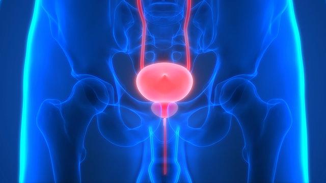 Human Urinary System Anatomy