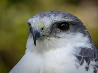 Variable hawk (Geranoaetus polyosomaa)