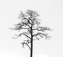 Silhouette dry tree isolated on white background