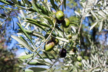 Olive tree with fruits which are ready for harvesting