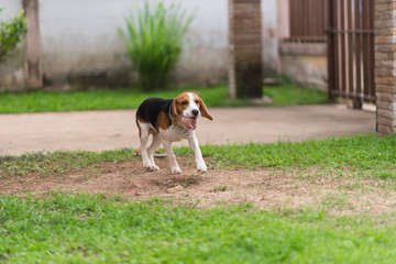 cute puppy beagle running and playing with ball